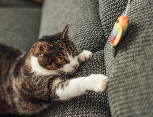 Enrichment for Your Indoor Cat